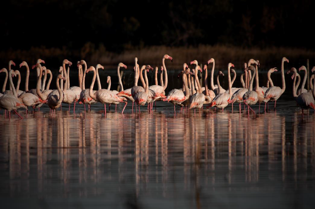Flamants roses. Crédit photo: Leoncini A.